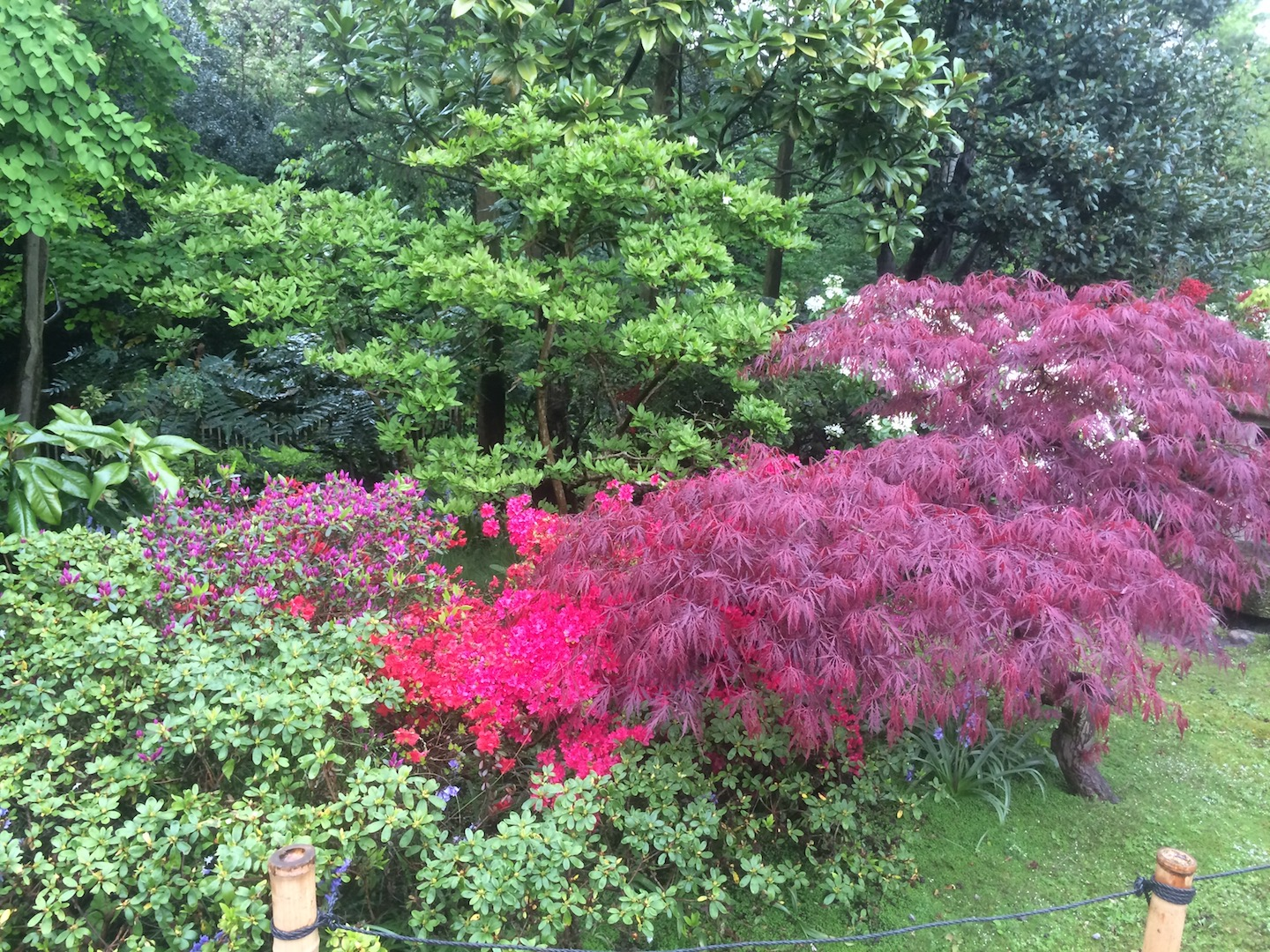 The use of contrasting coloured foliage is often a feature of Japanese Garden Design.