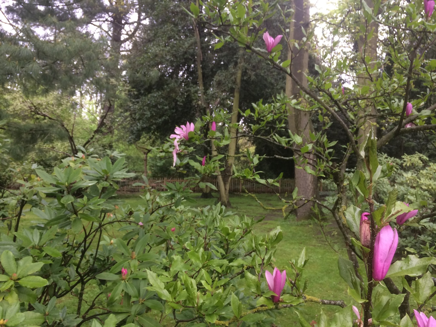 Pink Magnolias are a great choice for Japanese gardens.