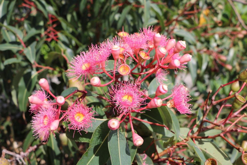 Stunning Pink flowering gum.