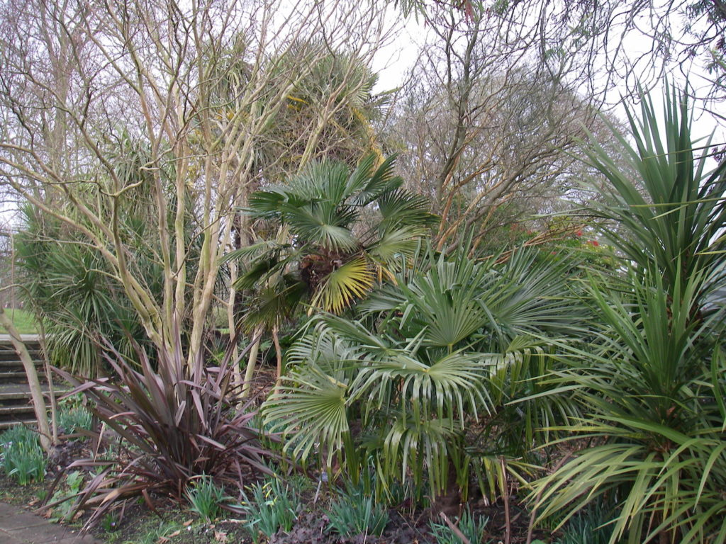 Chinese Wind Mill Palms with Cordylines at Kew Gardens.