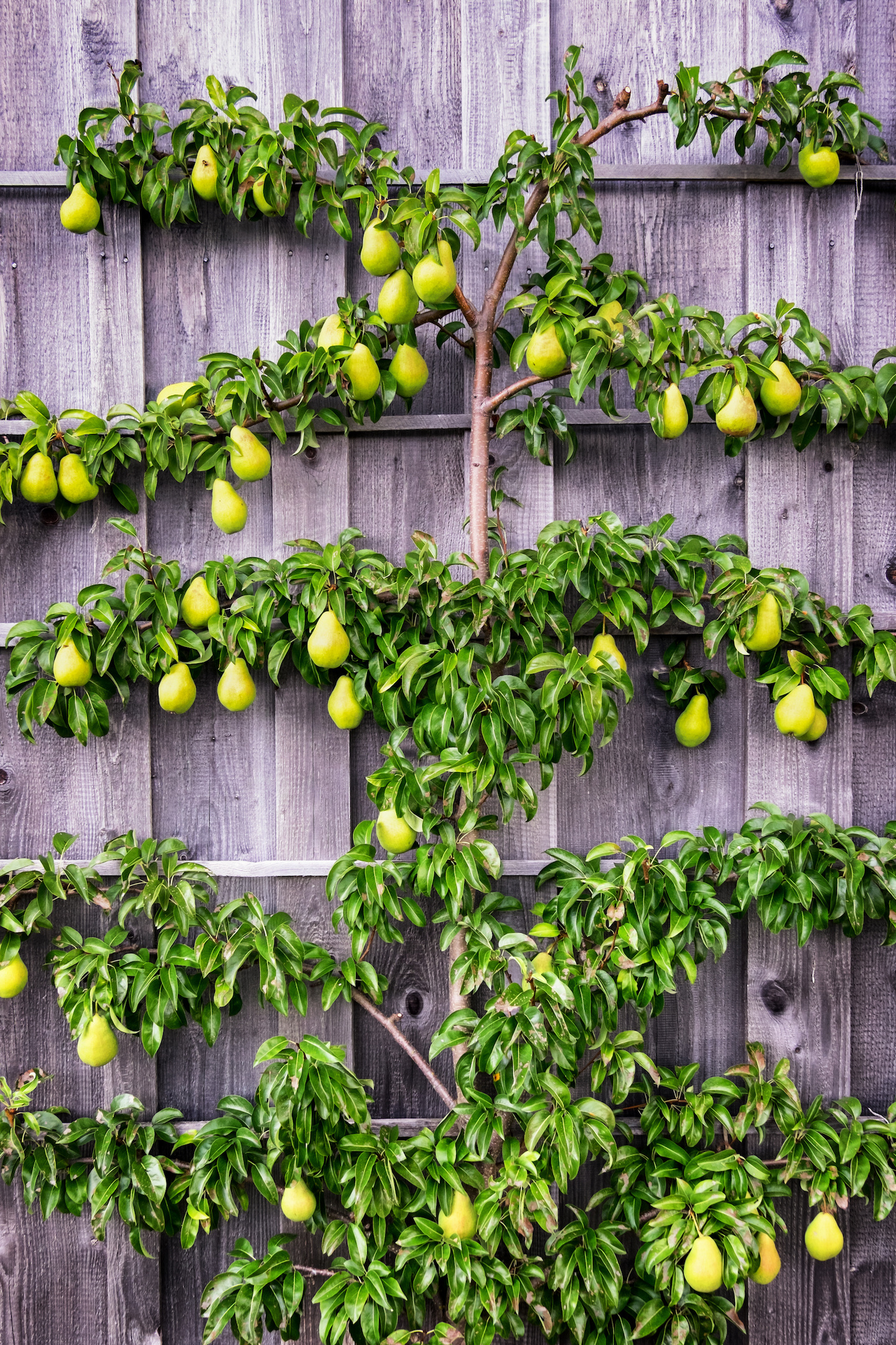 An espaliered pear tree covering a grey fence.