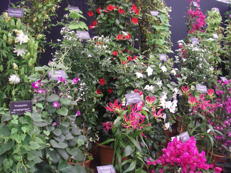 Climbing Plants Humulus lupulus, jasminum azoricum ,rhodochiton atrosanguine, passiflora white passion, gloriosa rothschildiana, Ipomoea purpurea, CLIMBERS