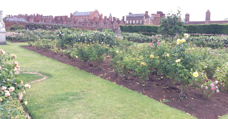 Hampton Court Palace rose gardens