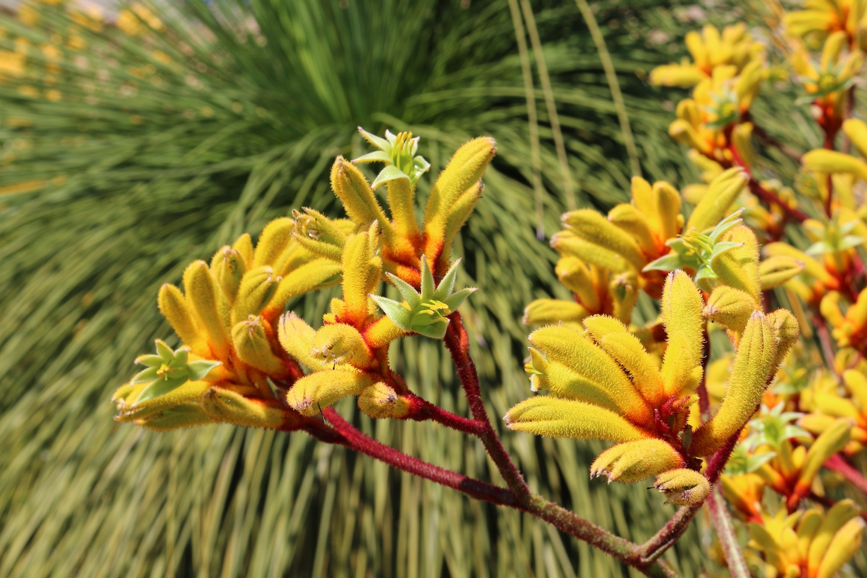 Eco gardening. Australian yellow kangaroo paw flower (Anigozanthos pulcherrimus) in front of a grasstree