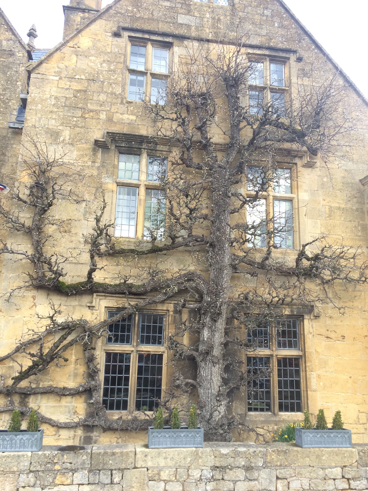 Large Espaliered tree against a building