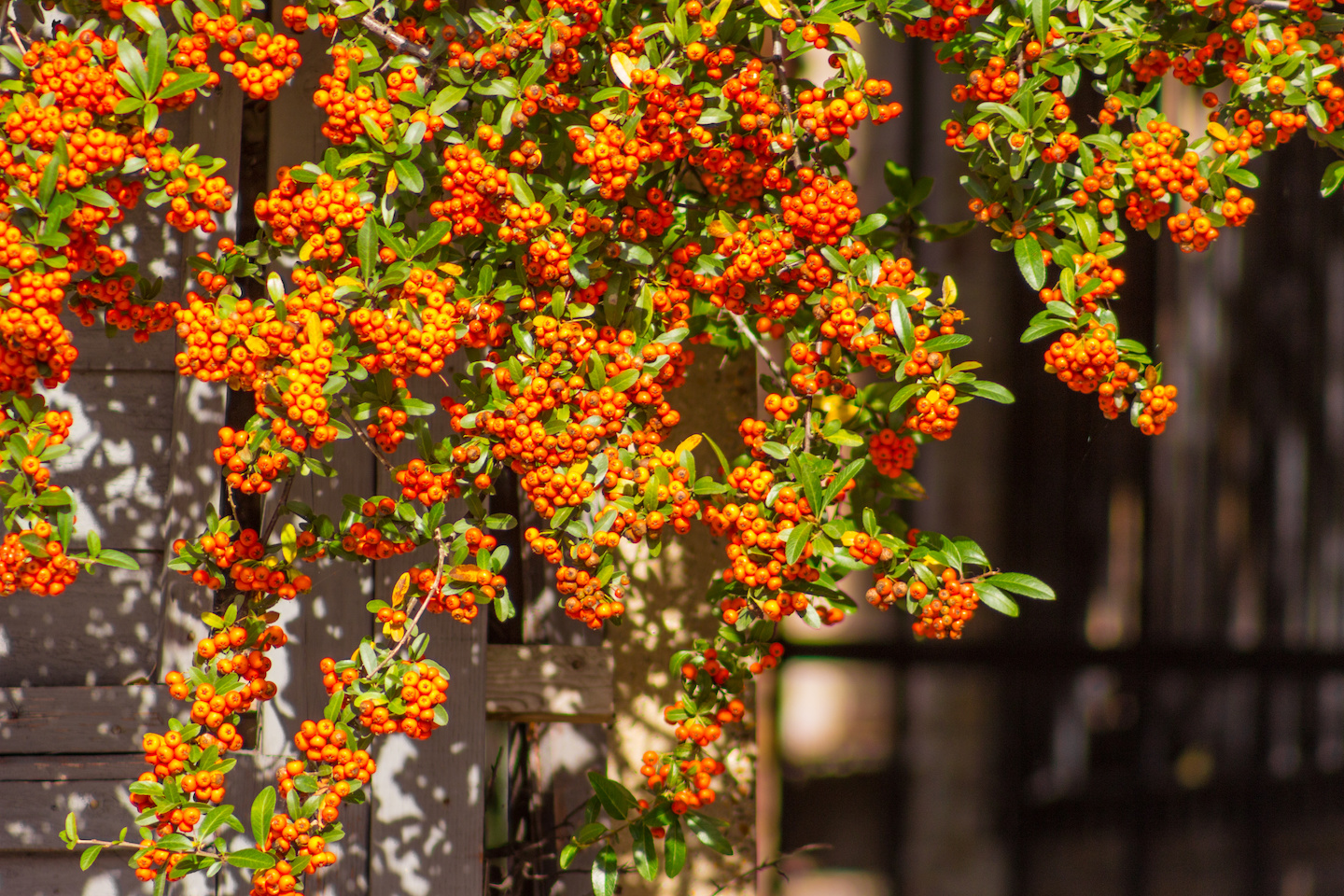 Pyracantha Orange Charmer can be grown as a hedge or Espaliered Plant