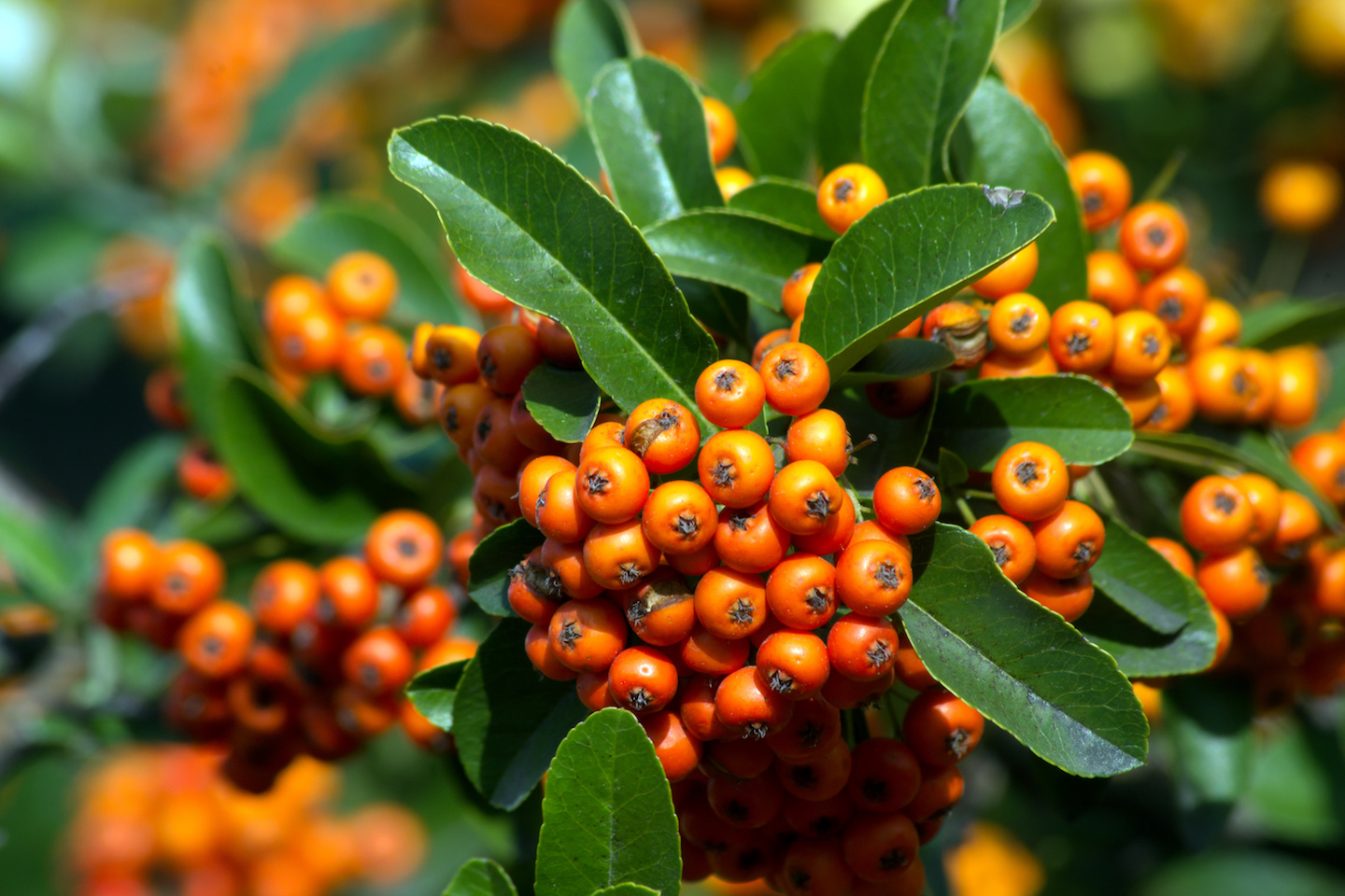 The fire thorn (Pyracantha coccinea) Can be grown as an Espaliered Plant.