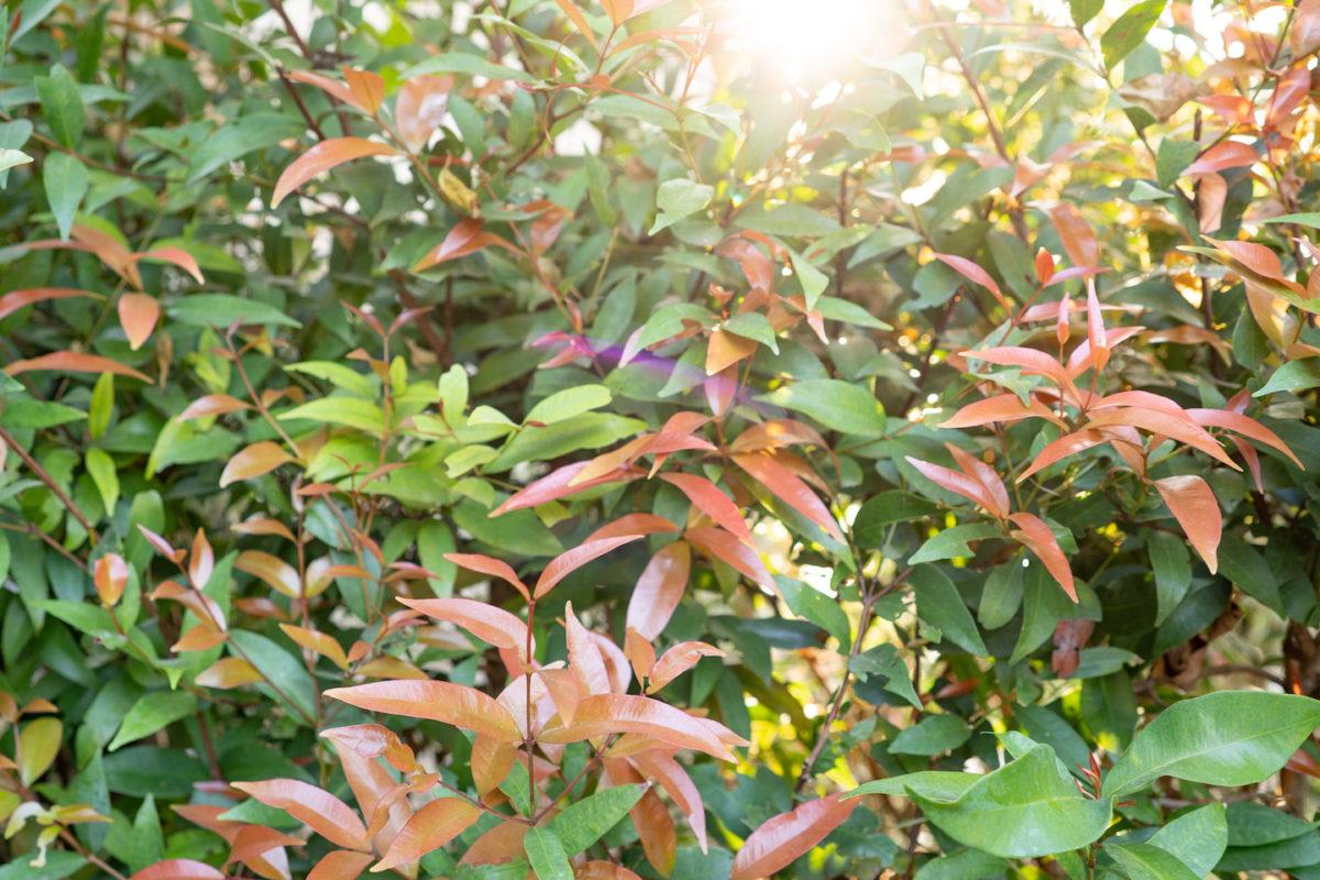 Melbourne Landscaper - Syzygium australe screening plants.