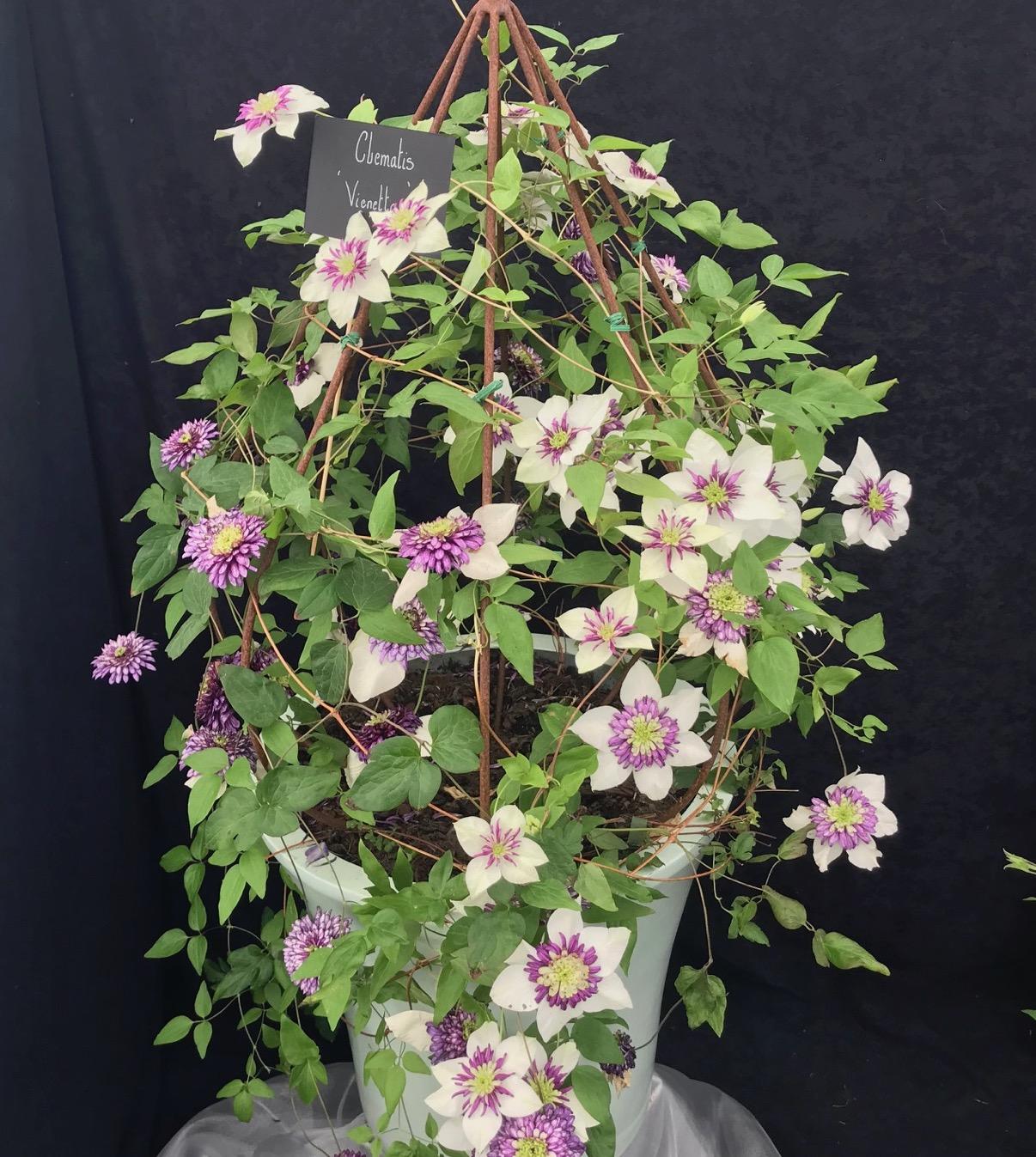 Climbing Plants - Clematis Viennetta