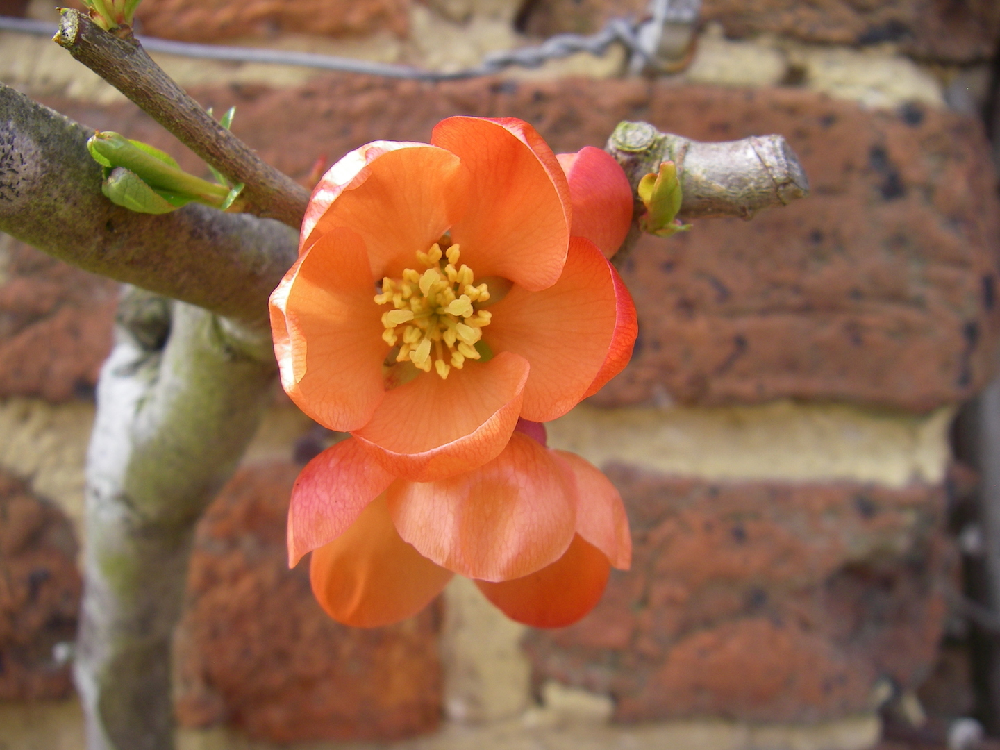 Japanese Quince flower