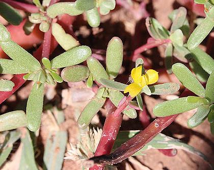Portulaca oleracea - Garden Weeds