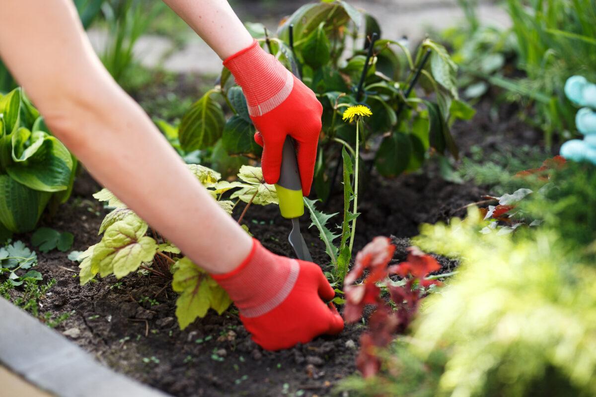 Weeding a Dandelion