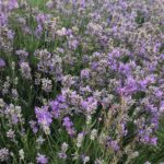 English Lavender -Lavandula angustifolia 'Ashdown Forest'
