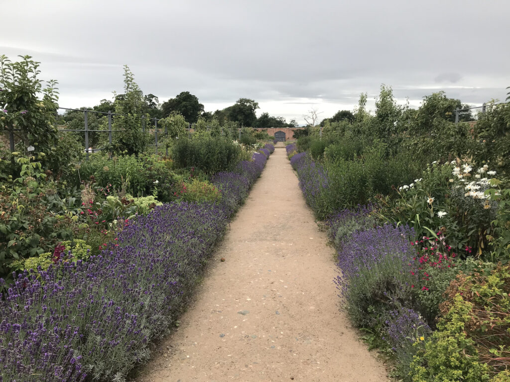Lavender in a herbaceous border along a path.