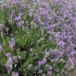 Lavandula angustifolia 'Cedar Blue'