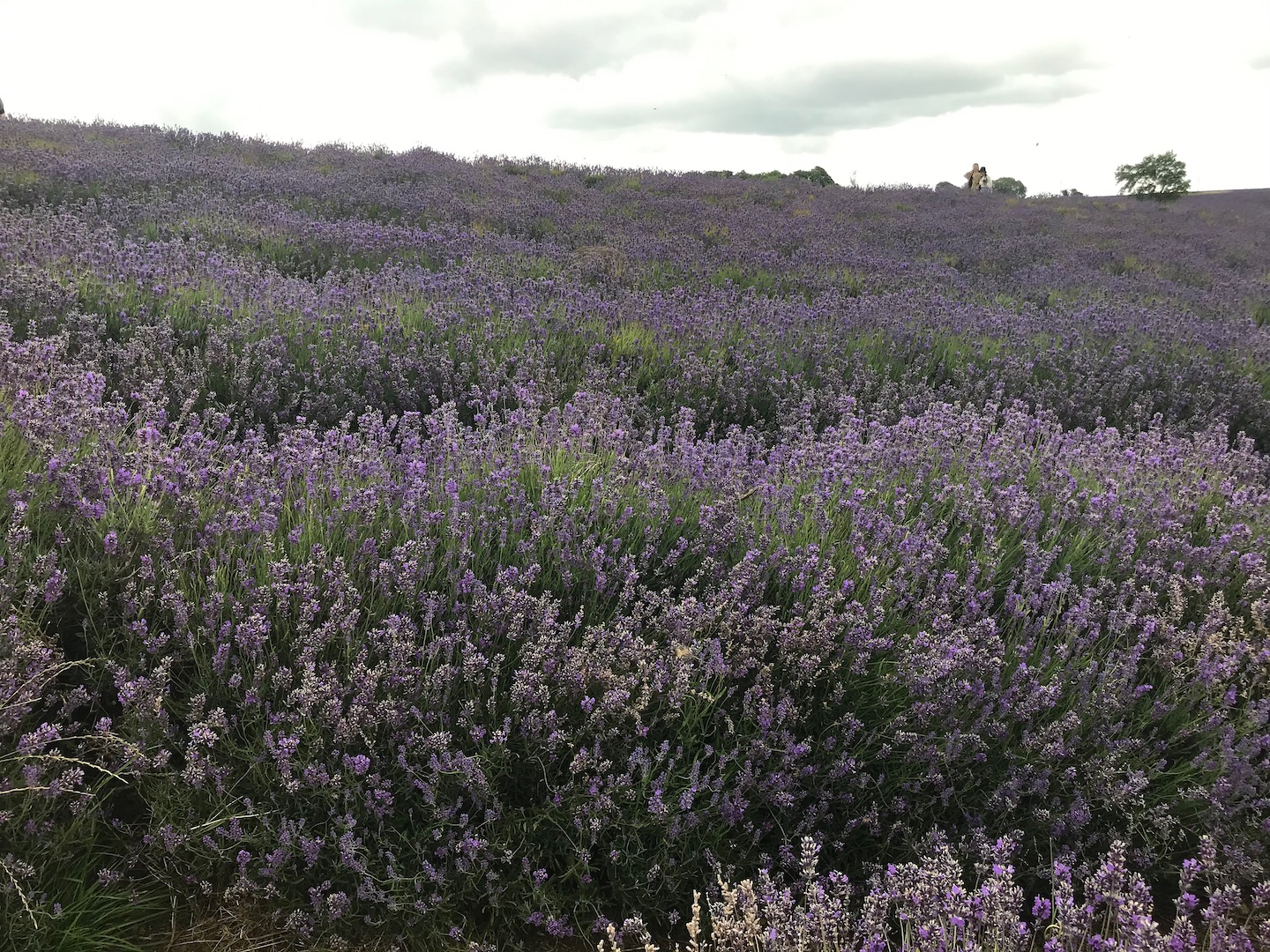 Lavender farm for essential oil manufacture