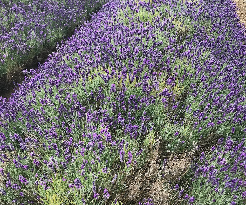 English Lavender Lavandula angustifolia 'Hidcote'