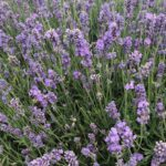 Lavandula angustifolia 'Melissa Lilac'