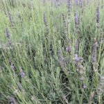 Lavandula x intermedia Old English lavender