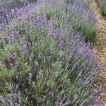 Lavandula Angustifolia Royal Purple