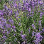 Lavandula angustifolia 'Folgate'