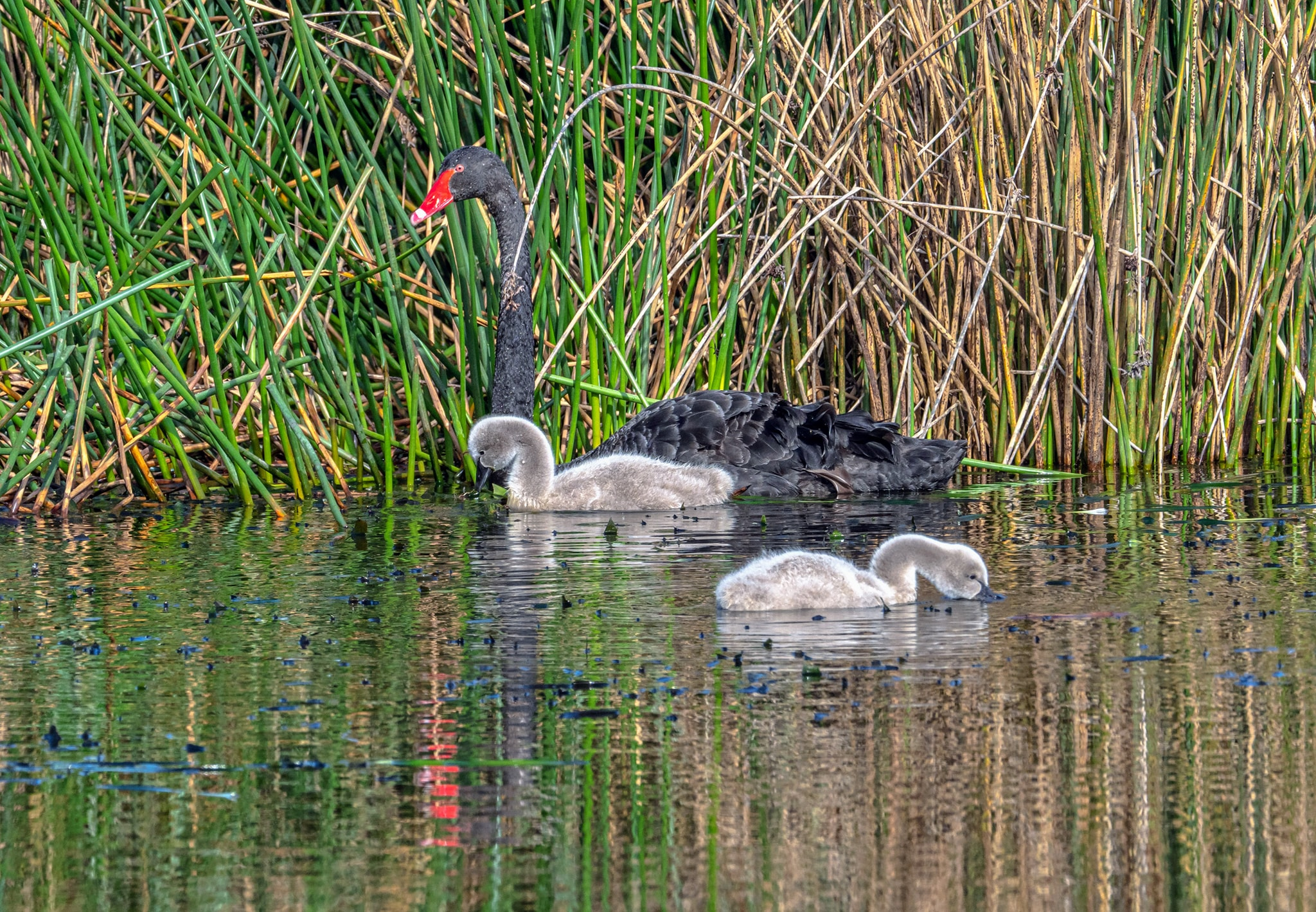 Early Spring in Melbourne and this black swan is raising cygnets in wetlands near Cranbourne. (Photo Shane Borham.)
