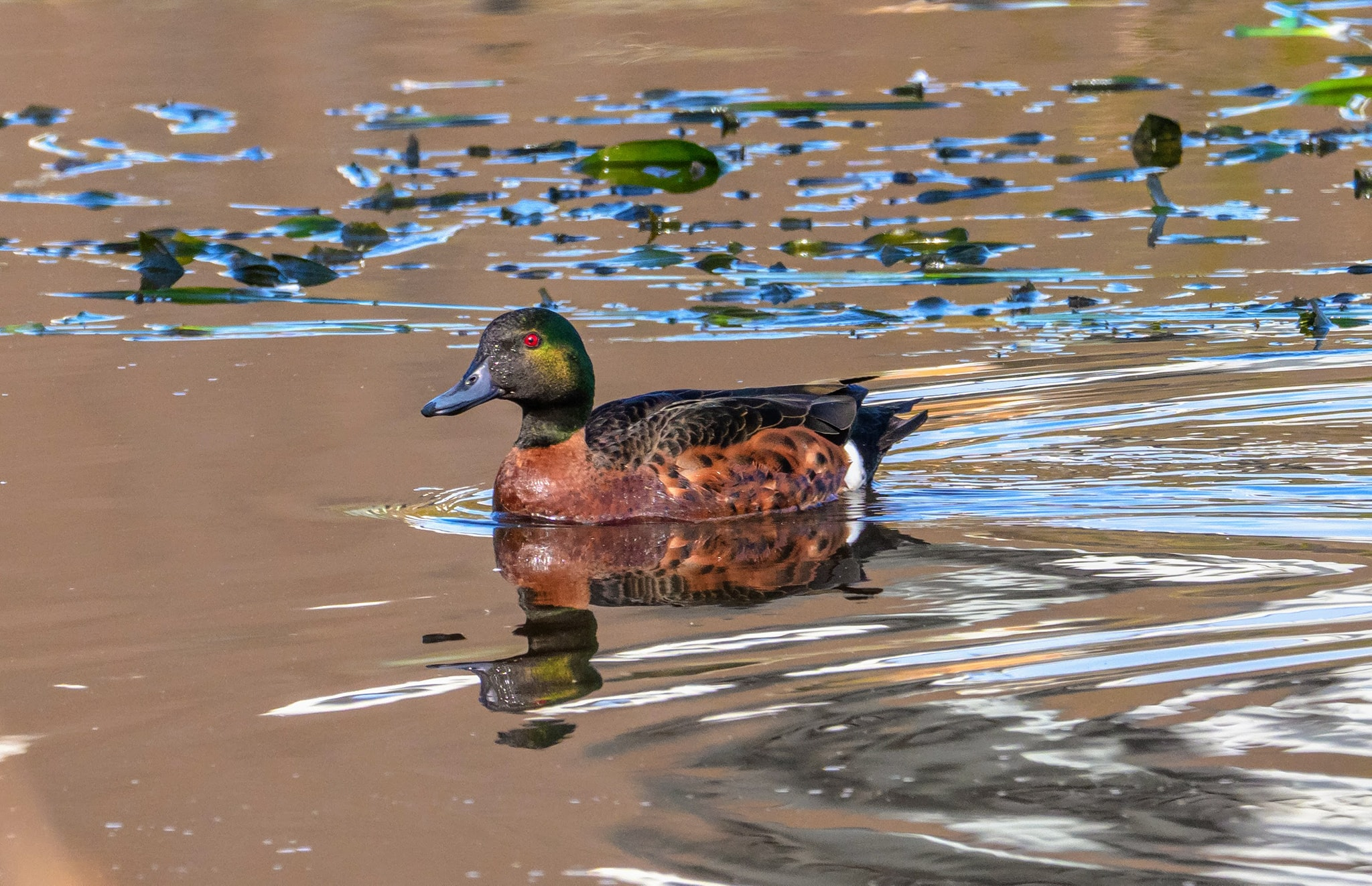 A Chestnut teal near Cranbourne Southeast of Melbourne.