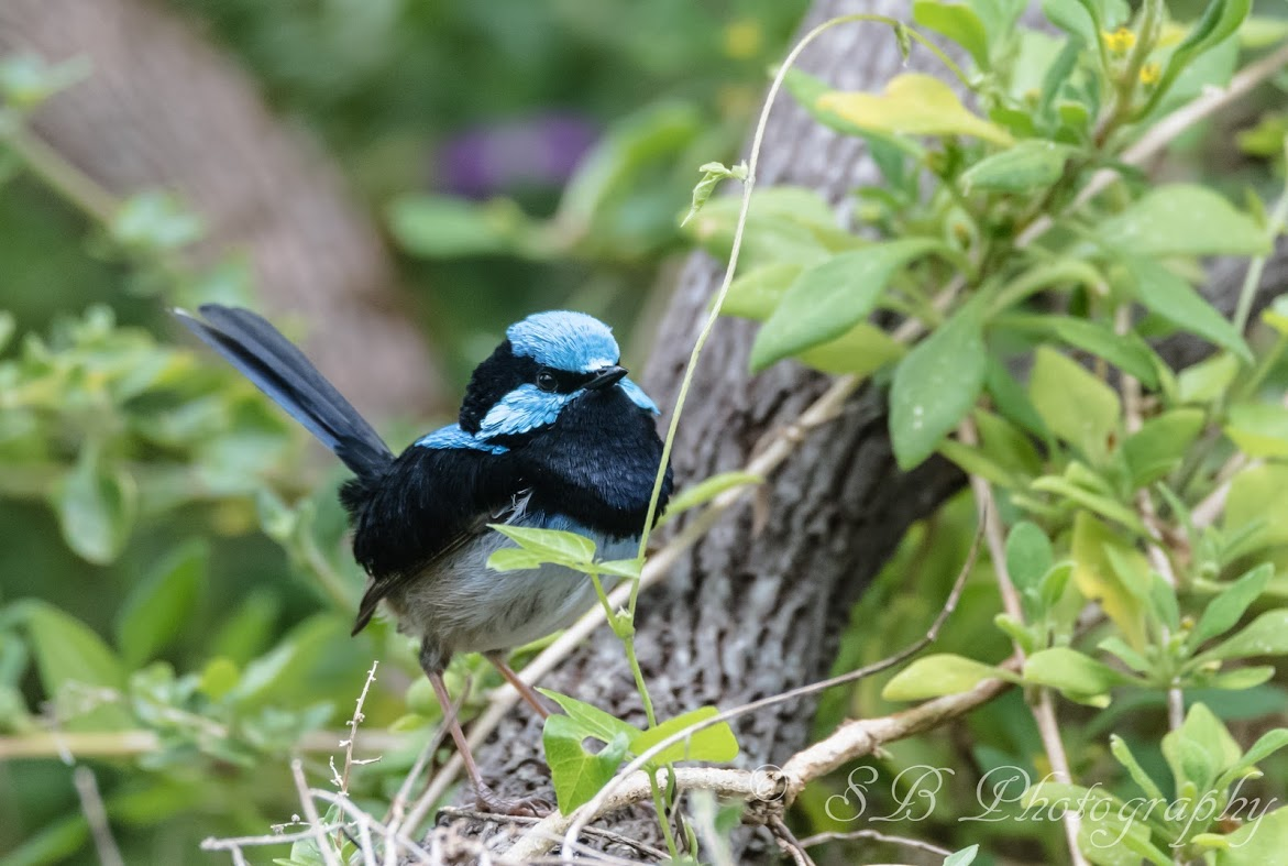 A blue fairy wren