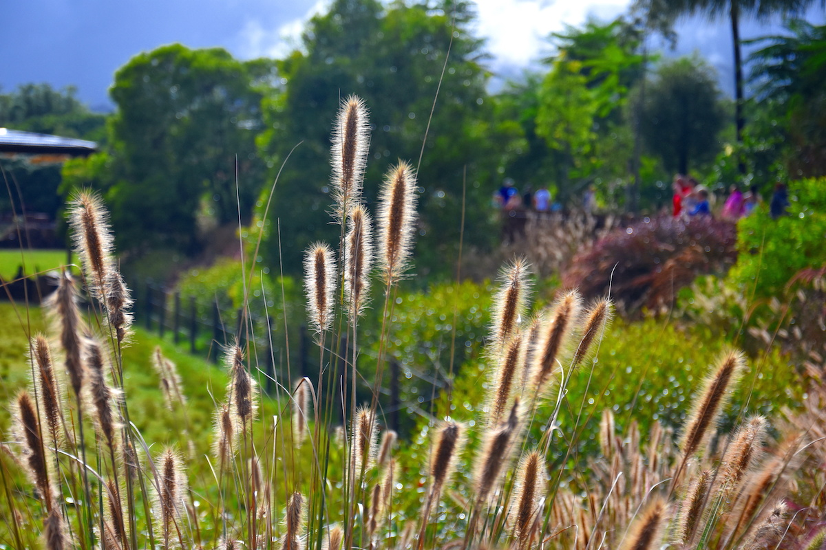 Australian grass Swamp Foxtail, Cenchrus purpurascens